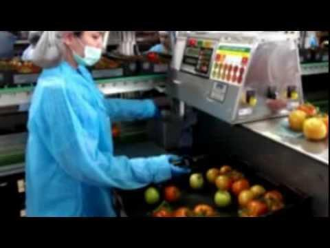 A&D Checkweighing Simplified - Tomato Packing Shed, Weighing & Data Capture